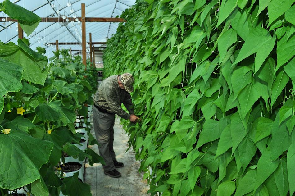 how to keep home grown green beans fresh